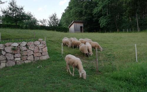 11 Schafe Auf Der Weide Kopie