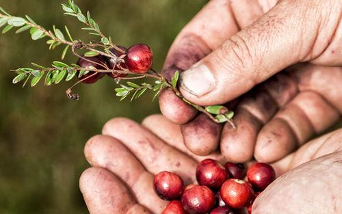 Effner Cranberry Plantage Beeren 3728