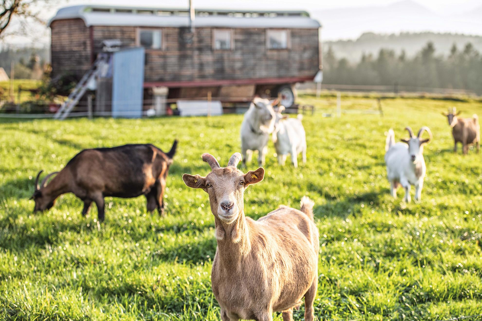 Ziegenhof Maria Frisch | Ziegen auf der Weide